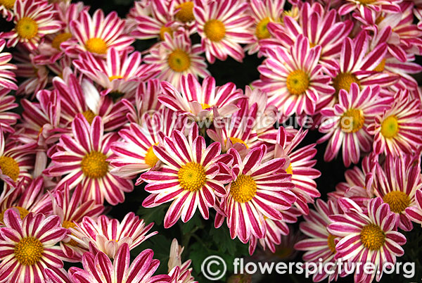 Chrysanthemum pink white variegated lalbagh flower show jan 2016