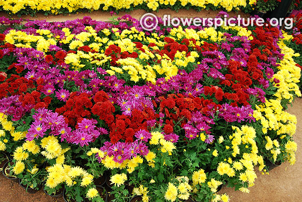 Chrysanthemum varieties pots diaplay lalbagh flower show jan 2016