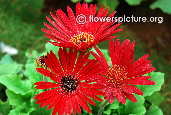 Deep maroon red with black eye gerbera daisy