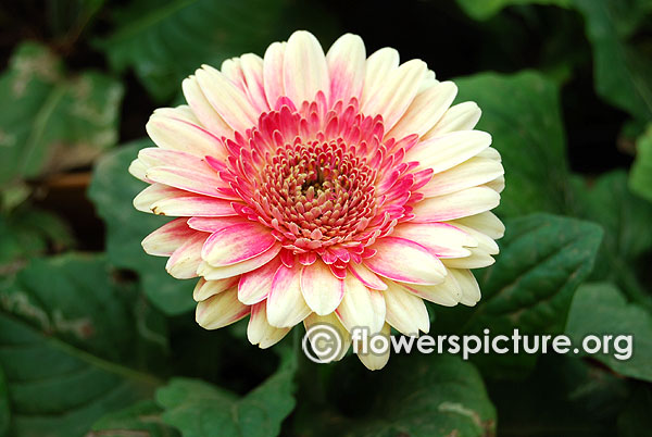 Gerbera fiction beige with pink centric