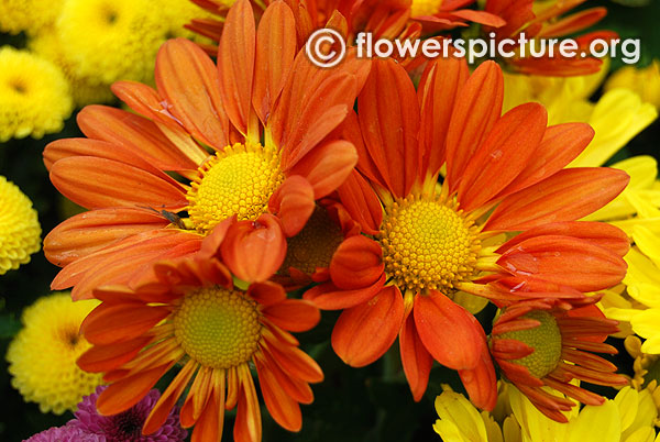Orange chrysanthemum lalbagh flower show 2016 bangalore