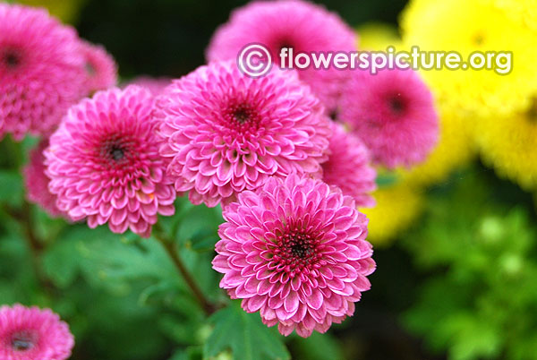 Pink button chrysanthemum lalbagh flower show jan 2016 republic day special