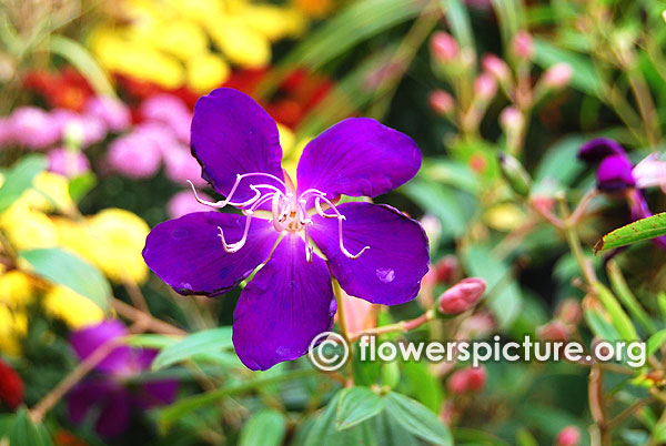 Tibouchina semidecandra-Princess Flower