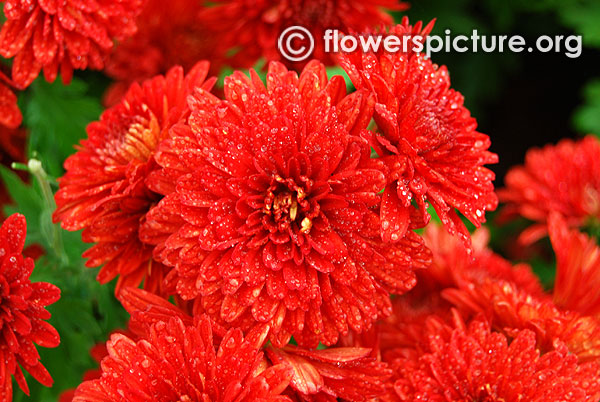 Red chrysanthemum bangalore lalbagh flower show 2016 republic day special