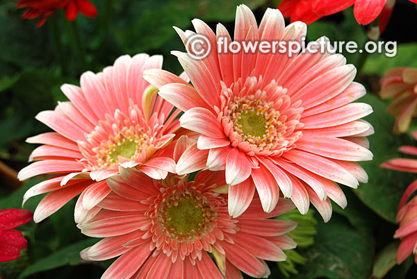 Salmon pink gerbera daisy lalbagh krumbiegel remembered flower show jan 2016