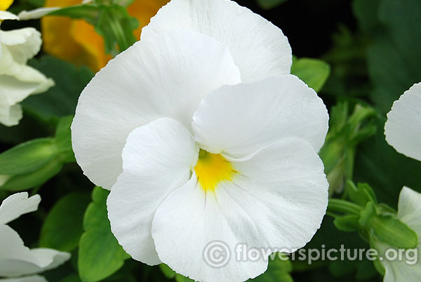 White with yellow eye pansy lalbagh flower show jan 2016