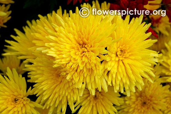 Yellow chrysanthemum bangalore lalbagh flower show 2016 republic day