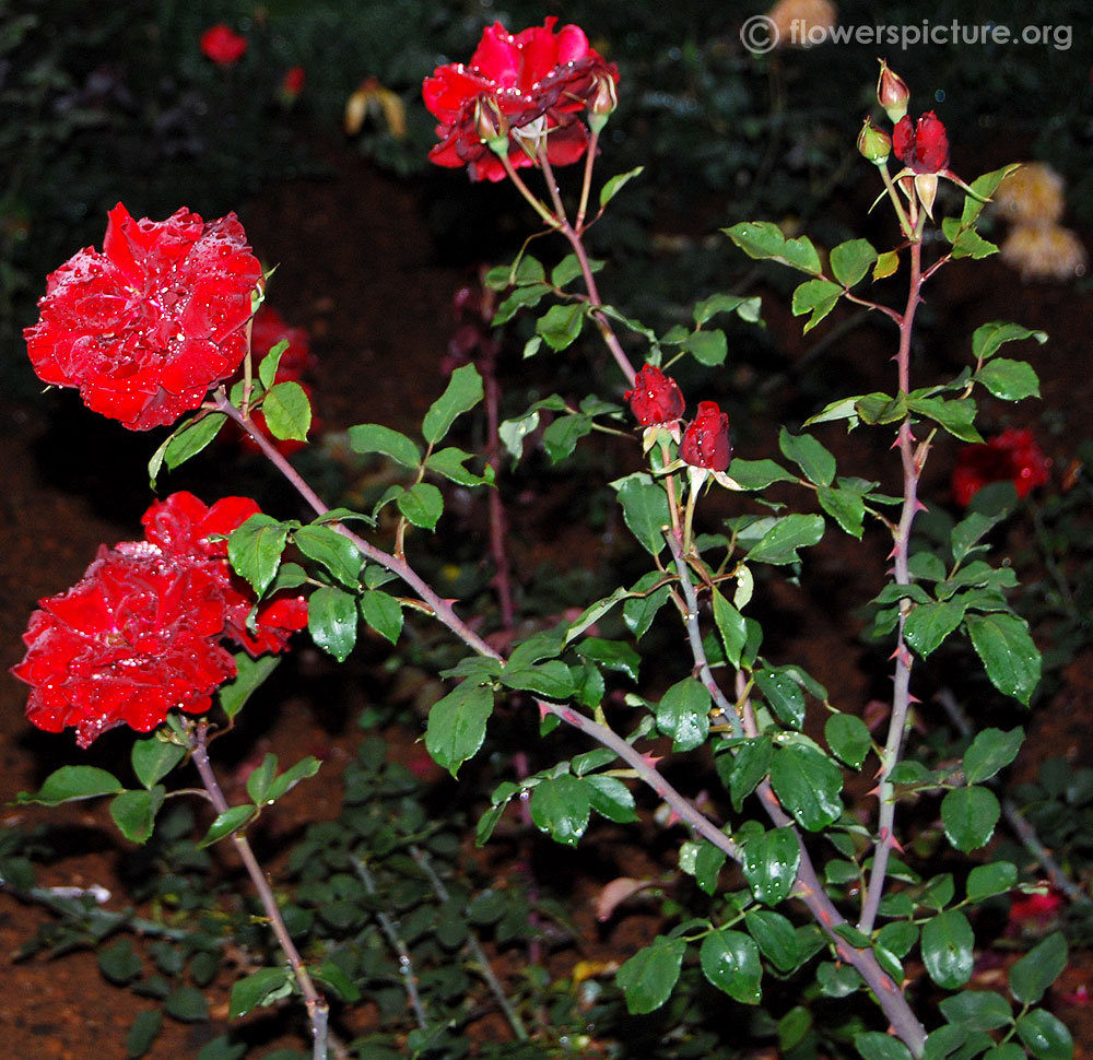 Black forest rose rosa black forest - Planting rose shrub step ...