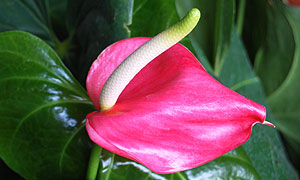 Anthurium andraeanum flower varieties