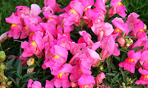 Antirrhinum Snap Dragon flower varieties