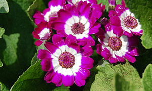 Cineraria flower varieties