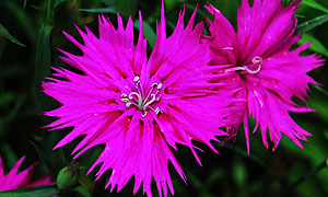 dianthus flower varieties