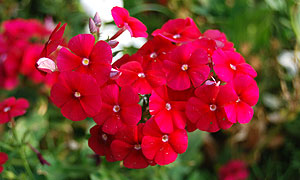 phlox flower varieties