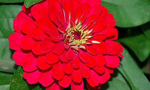 Zinnia flower varieties