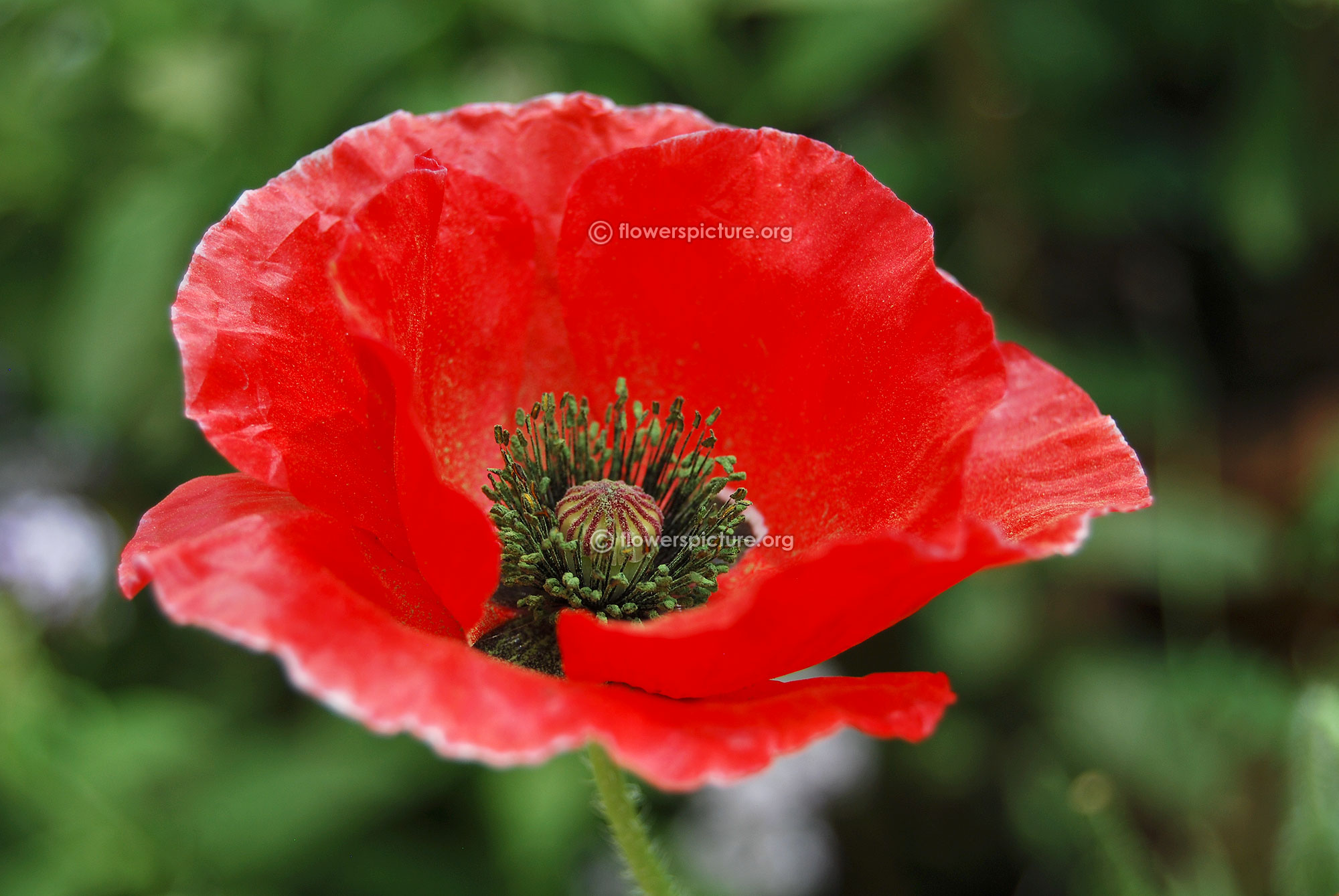 Poppy flower varieties red poppy flower dhlflorist Images
