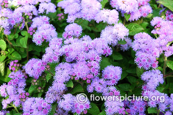 Ageratum houstonianum-Floss flower
