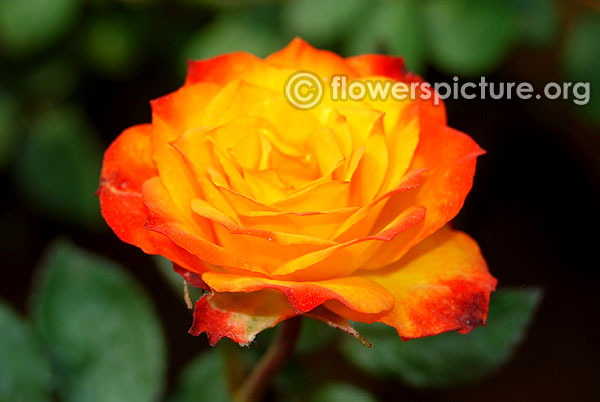 Beautiful sunrise rose