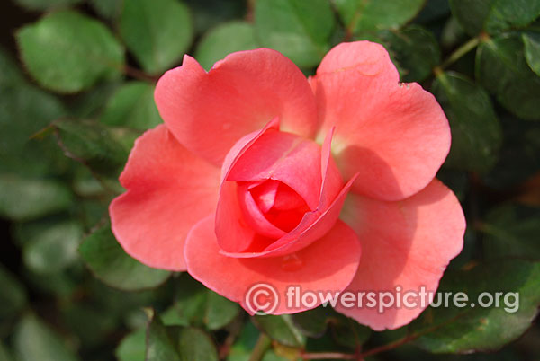 Giggles miniature pink rose