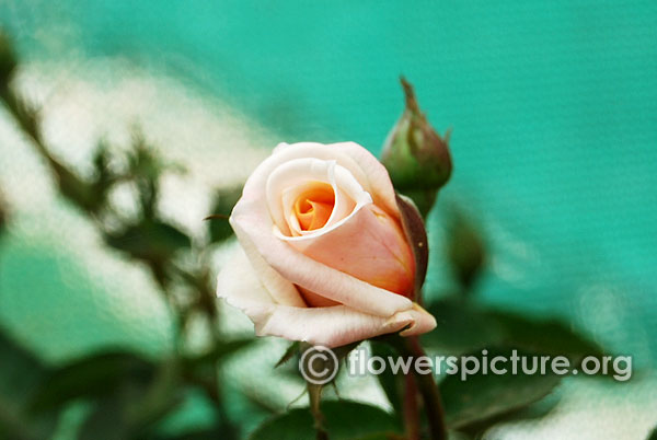 Julia's rose bud