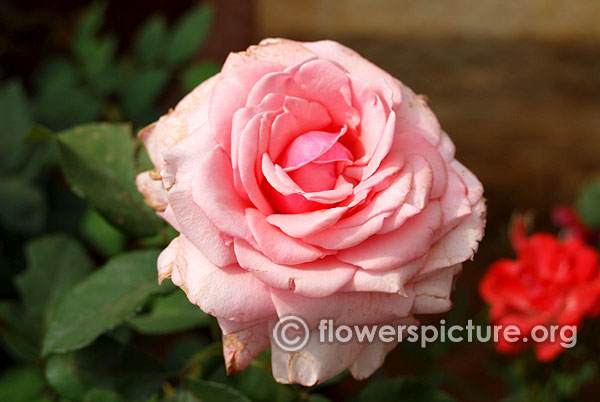 Pearly gates rose
