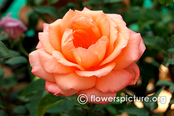 Summer beauty rose
