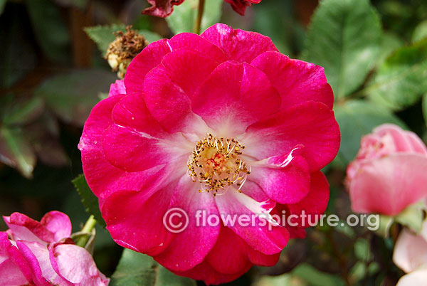 Sweet vigorosa rose