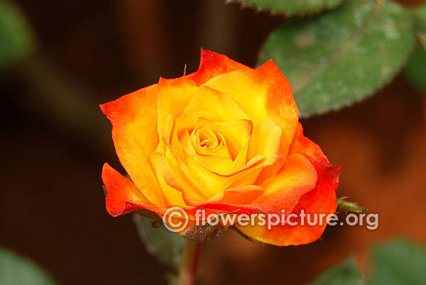Yellow with orange rose
