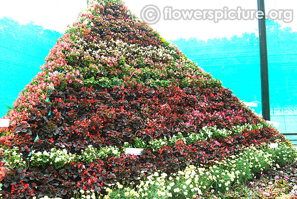 Begonia semperflorens flower mountain