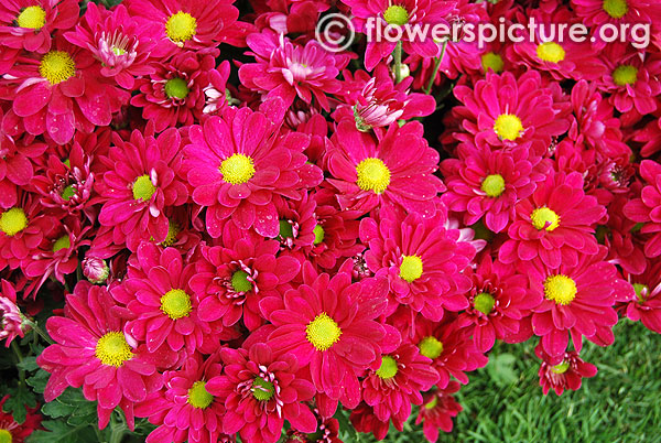 Magenta colour chrysanthemum
