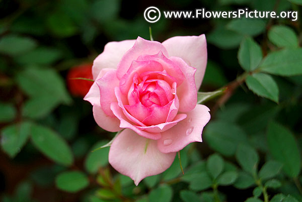 Baby pink miniature rose
