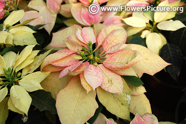 Pink and white variegated poinsettia