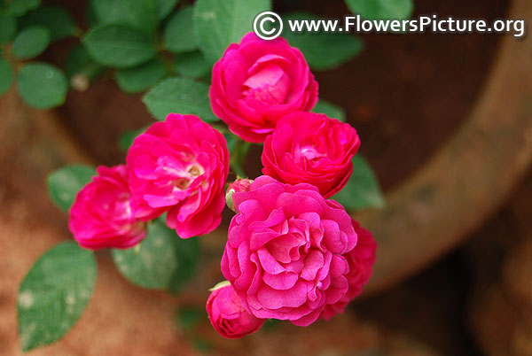 Pink miniature rose lalbagh flower show 2018