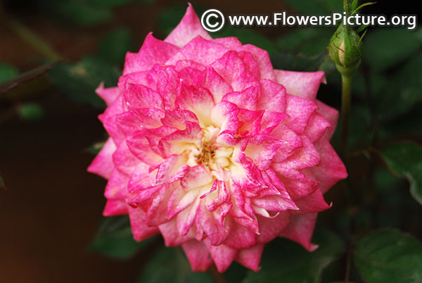 Pink white variegated miniature rose