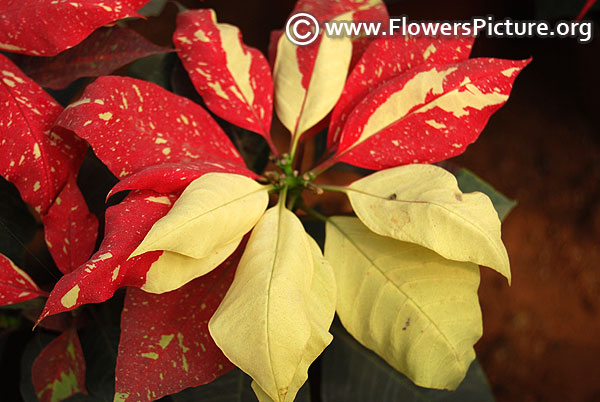 Red and white variegated poinsettia