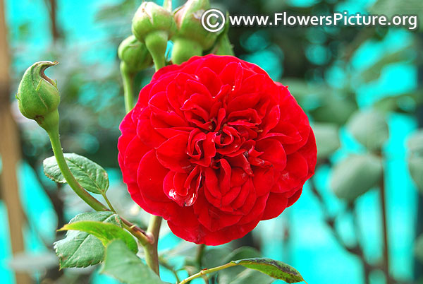 red rose lalbagh 2018