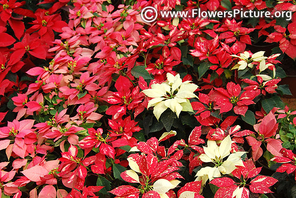 Variegated poinsettia plants