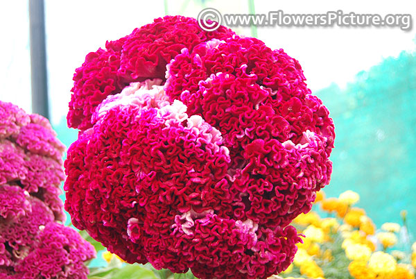 Celosia cristata- giant head shaped cockscomb