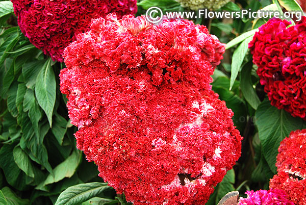 Giant head shaped red cockscomb