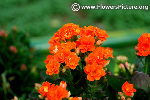 Orange kalanchoe flowers rosebud shape