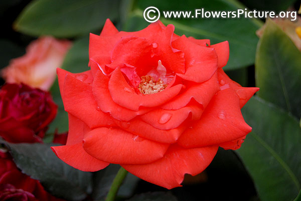 Orange pot miniature rose