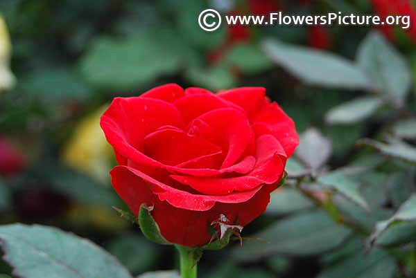 Red miniature rose lalbagh botanical garden flower show 2019