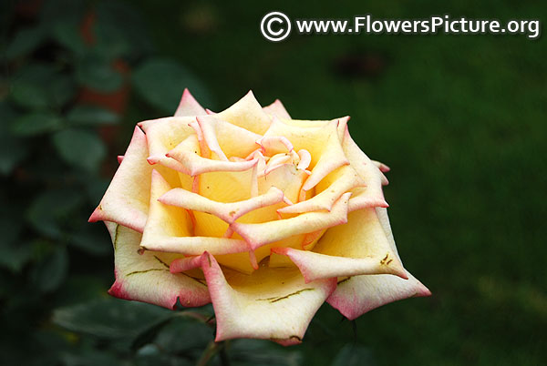 Yellow pink pot rose