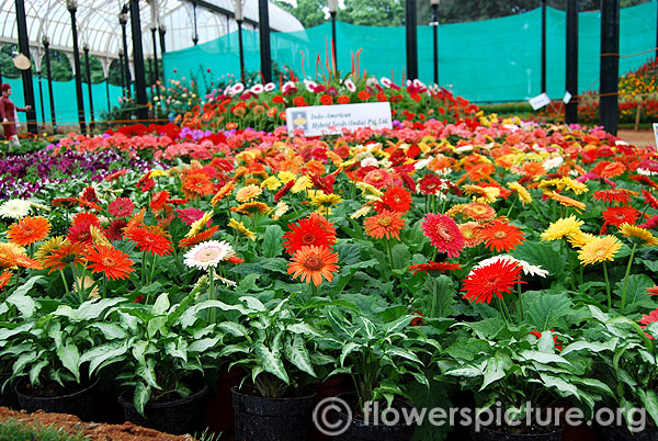 Gerbera plants with flowers