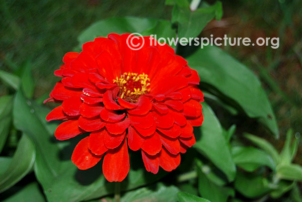 Zinnia elegans burgundy red