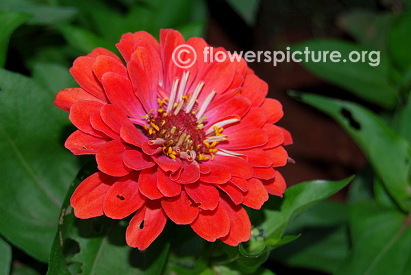 Zinnia elegans salmon orange