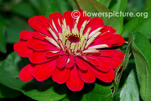 Zinnia scarlet red