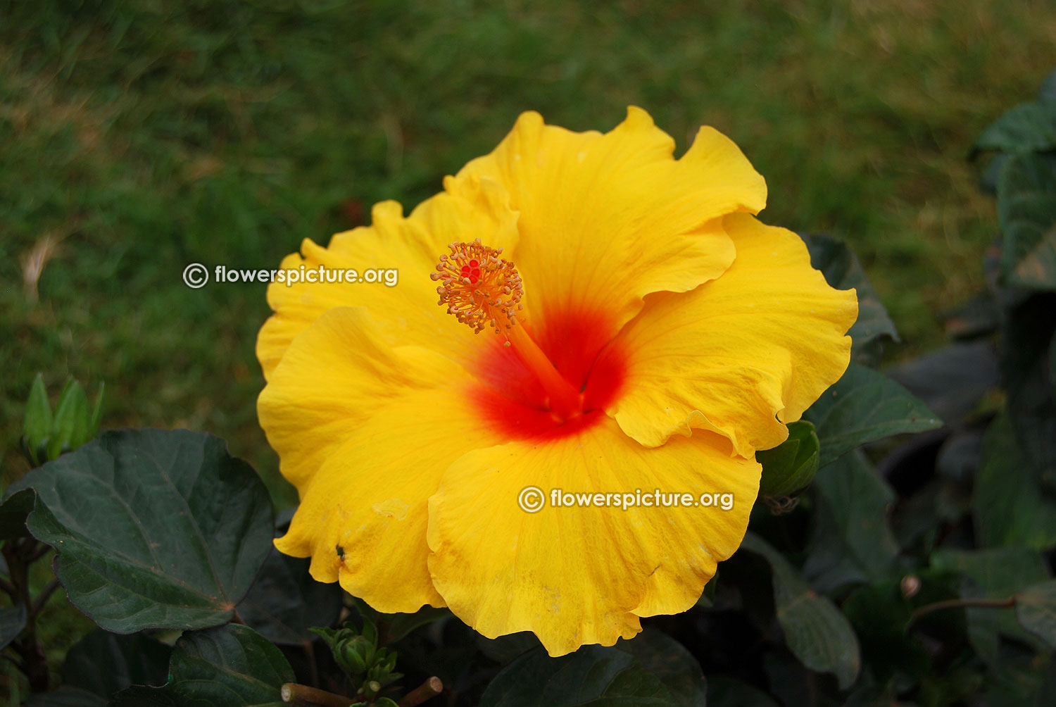 Flowers by color yellow yellow flowers images tropical hibiscus hula girl dhlflorist Image collections