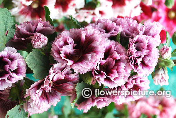 Alcea rosea double pink with black