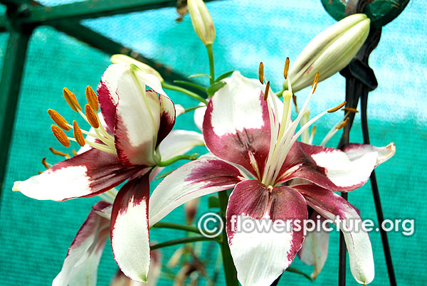 Alstroemeria pelegrina liliums white purplish black variegated flowers