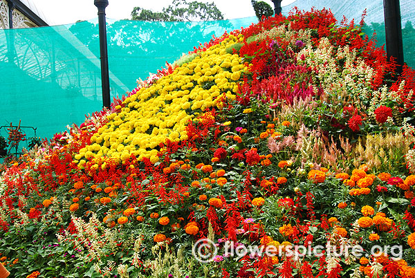 Annual flowers mountain lalbagh independence flower show august 2015